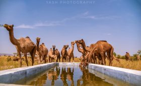 Pushkar Camel Fair, VTI