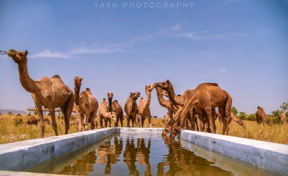 Pushkar Camel Fair, VTI